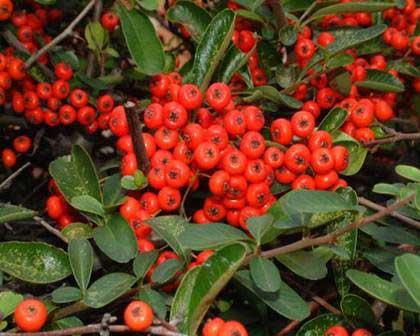 Alimantazione agapornis for Pianta ornamentale con bacche rosse
